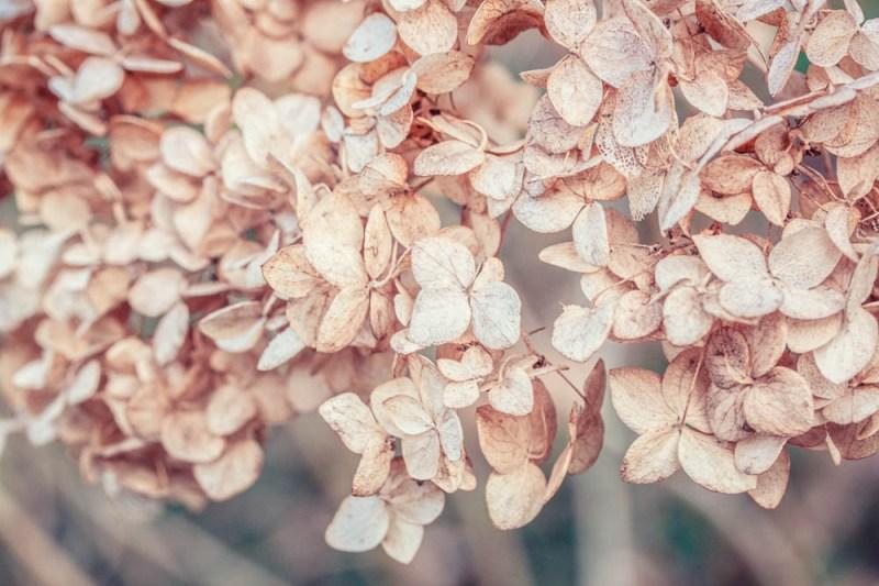 Hortensie im Herbst
