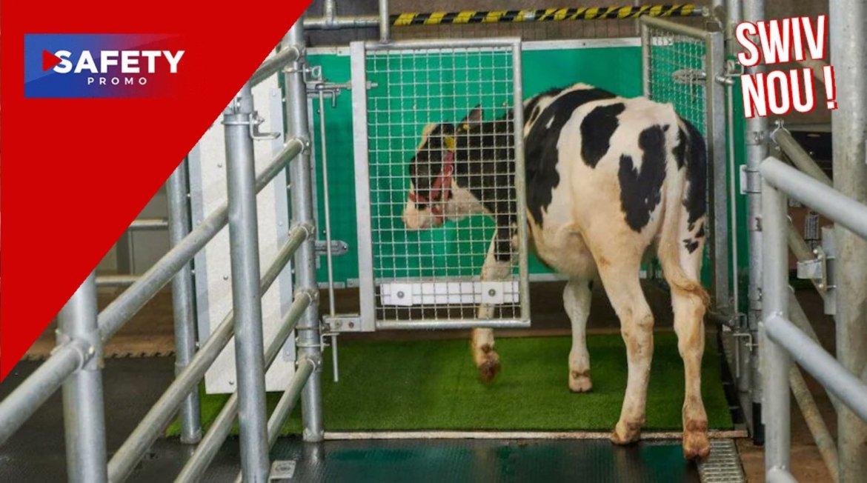 Des vaches entraînées à aller aux toilettes pour réduire les gaz à effet de serre
