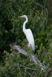 great_white_heron2
