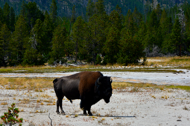 bison yellowstone hayden valley