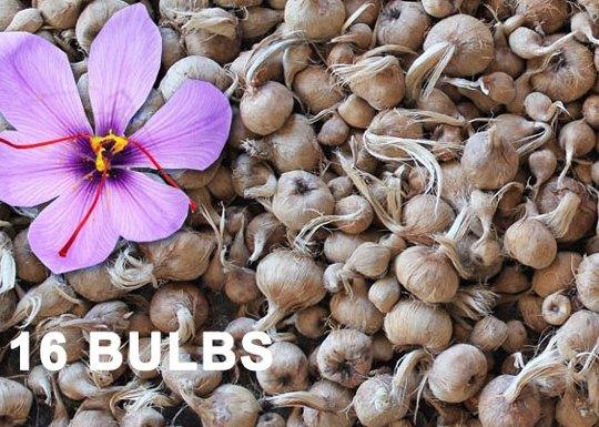 saffron-bulbs-organic-gardening