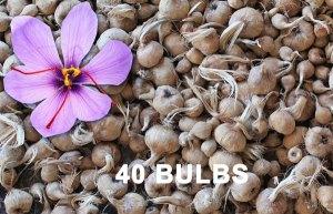 saffron-bulbs-40