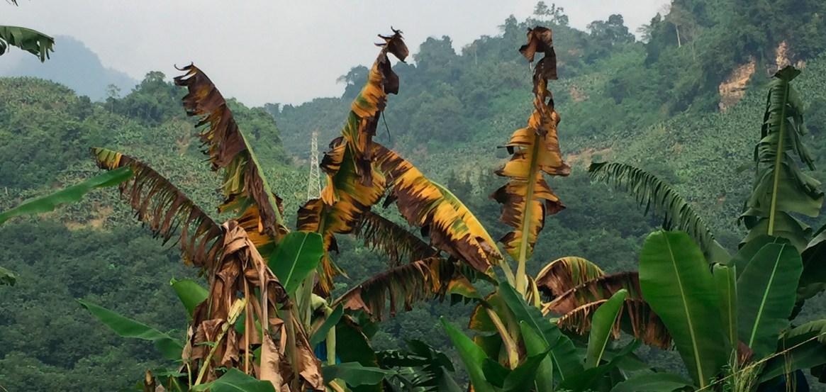 Los síntomas típicos en las plantas afectadas se caracterizan por presentar externamente una coloración ligeramente amarillenta en las hojas mas viejas de la planta.