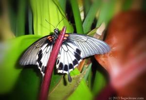 B&W Monarch