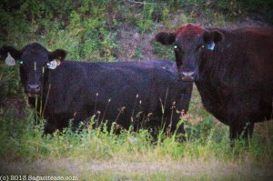 Black beef cattle copy