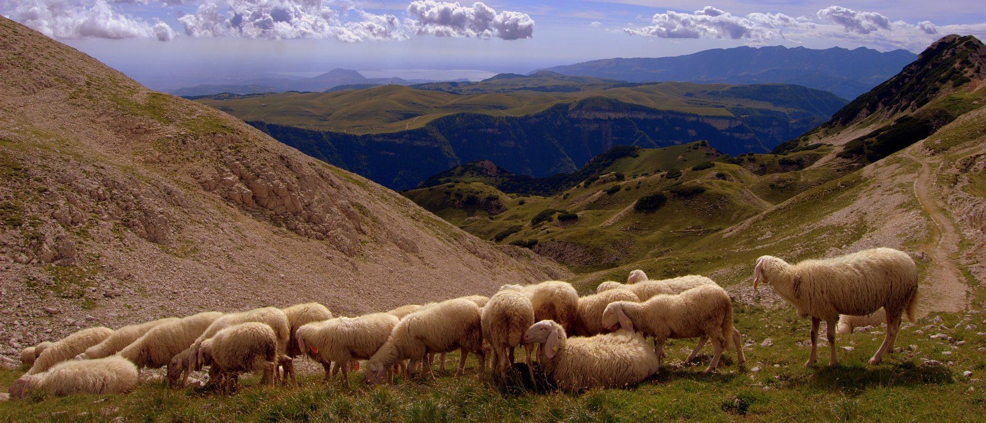 owce wgórach