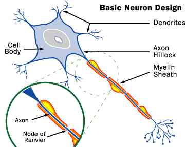 Basic Neural Structure