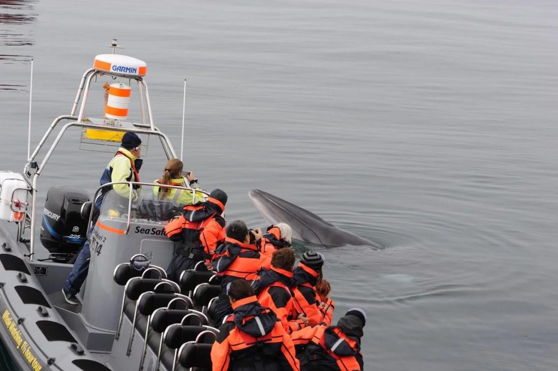 Minke Whale - Whale Safari