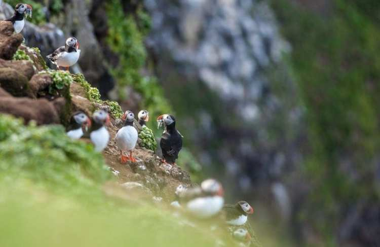Puffins beyond the arctic circle