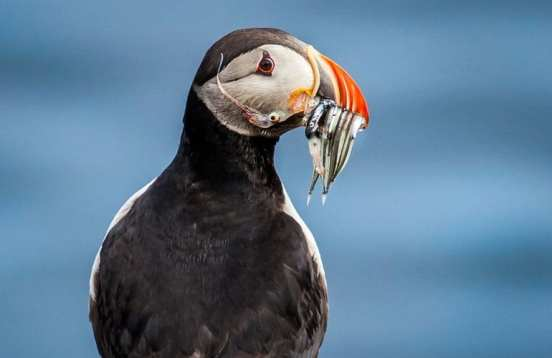 Puffin by the arctic circle