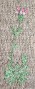 Kattfot (Antennaria dioca)