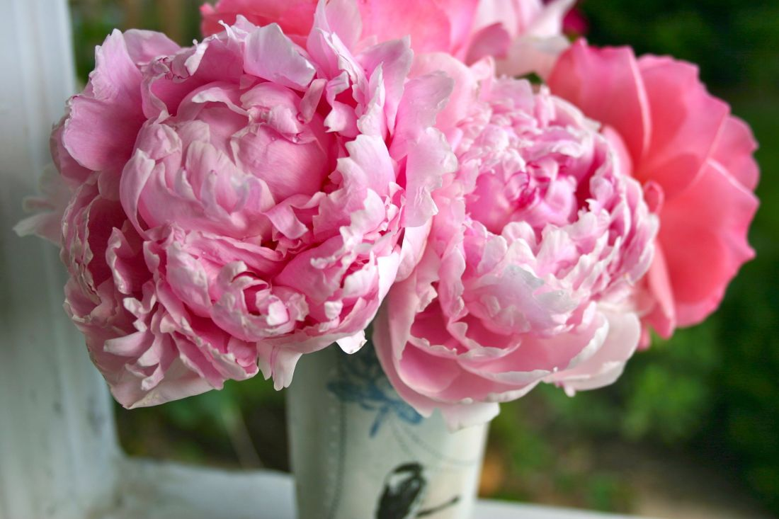 Pink Peonies and Rose - 8458