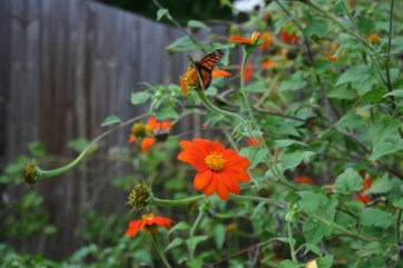 Mexican Sunflower - 03