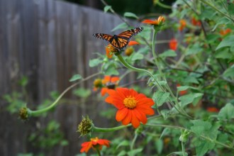 Mexican Sunflower - 04