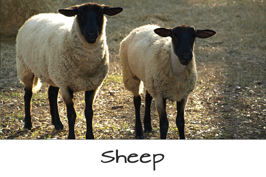 Farm-Animals-Sheep