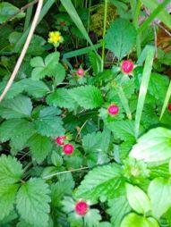 Red berries (unripe salmonberries?)