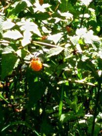 Salmon berries