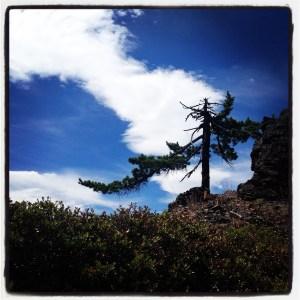 Pine on Devils Ridge