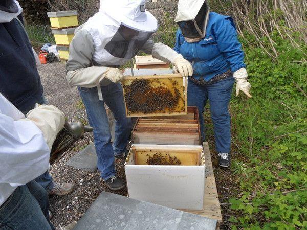 Transfert d'essaim dans une ruche
