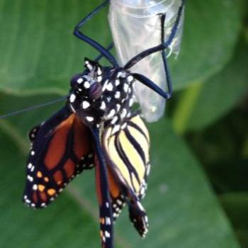 Baby butterfly coming out of chrysalis 1