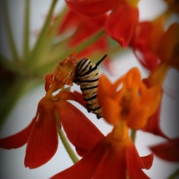 Caterpillar on red flower