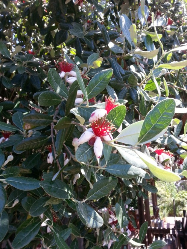Feijoa in bloom