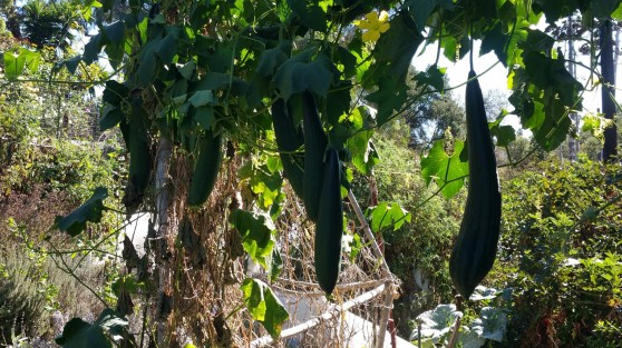 Luffa vines grow up everything. Here's some taking over a juniper treet