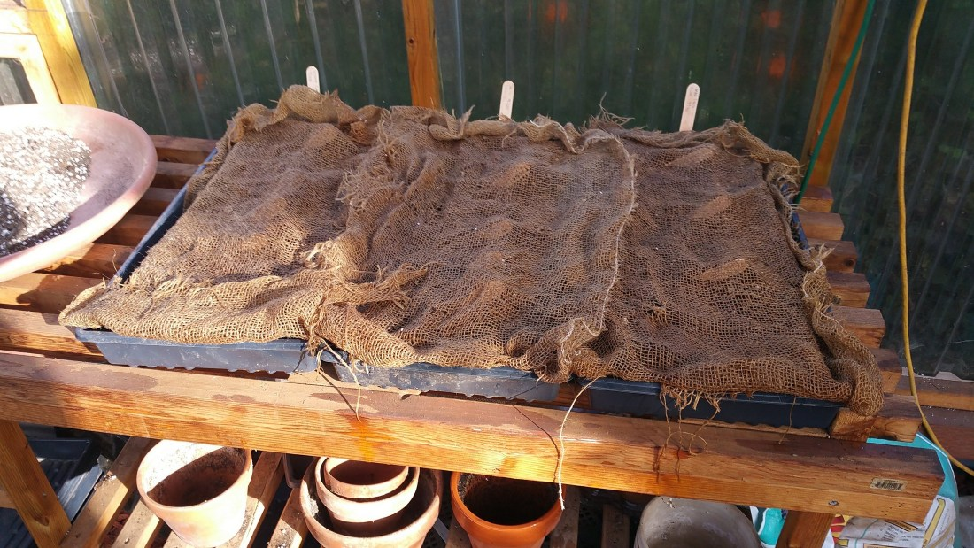 shows seed trays covered with burlap
