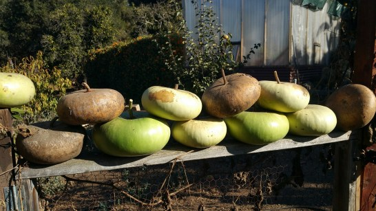 Bowl gourds in various states of dryness