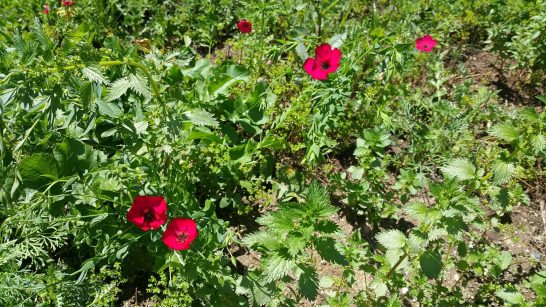 Newcomer: Red Poppy from Europe. Seed escaped a poppy garden from 2009 and lives on here