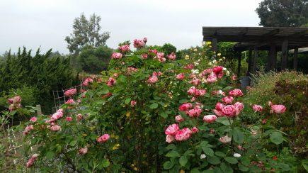 Peppermint Twist Rose in the Rose garden