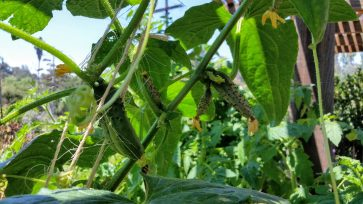 Baby Pickling Cucumbers on the vine