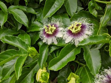 Passion Fruit flowers in the tropical garden.