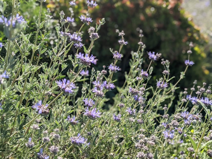 Cleveland Sage, a California native in bloom in April
