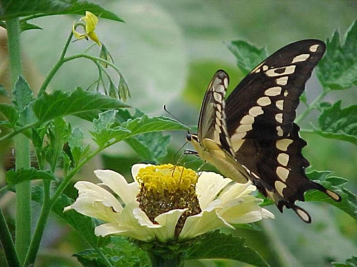 A giant swallowtail butterfly on a calendula