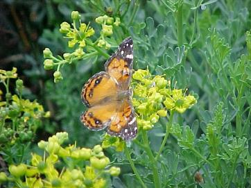 A pained lady butterfly on flowering rue