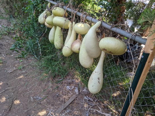 Green gourds drying
