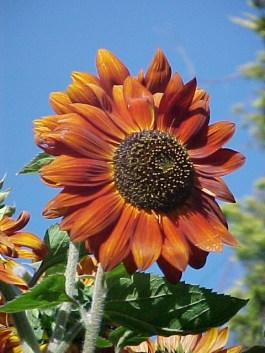 Earthwalker Red Sunflower