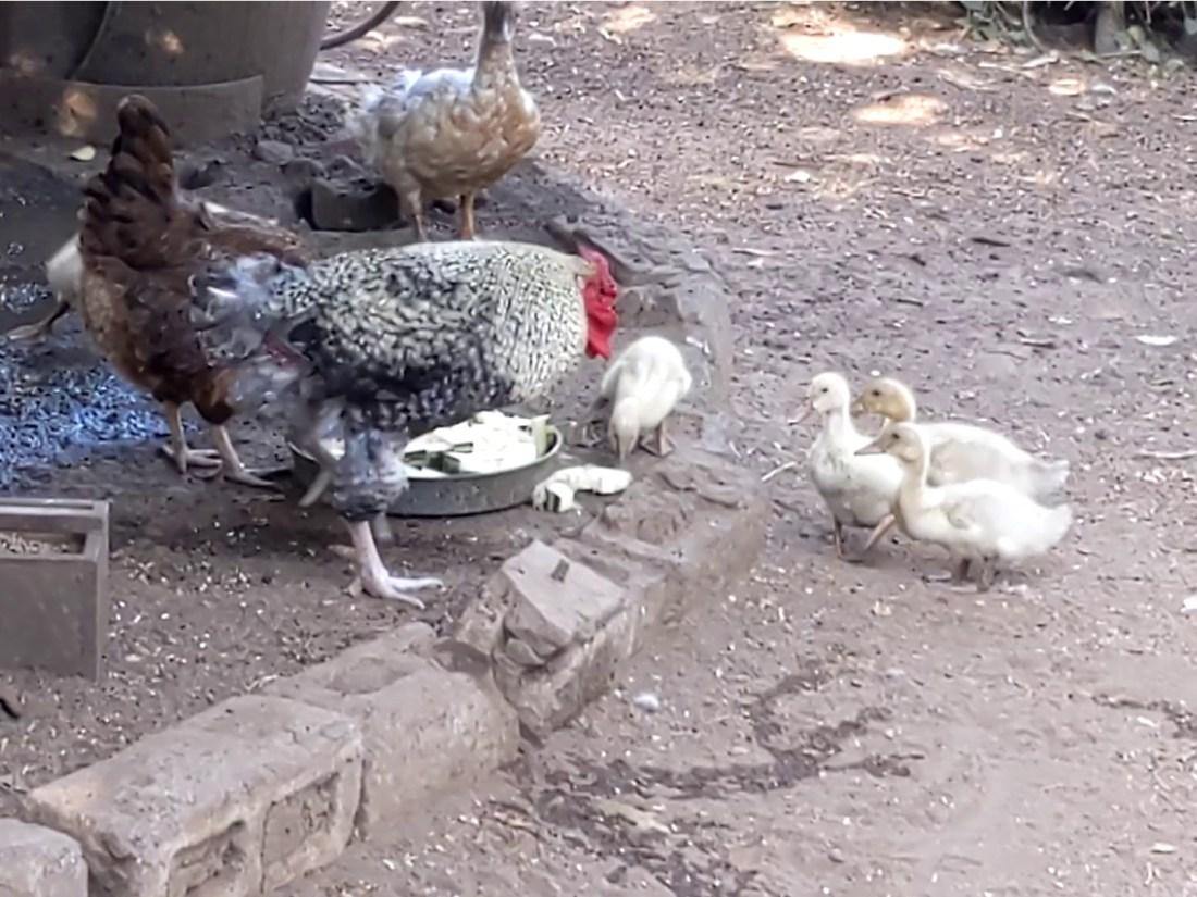 Rooster faces off with 3 ducklings