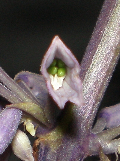Green Salvia Seeds Ripening in 2007