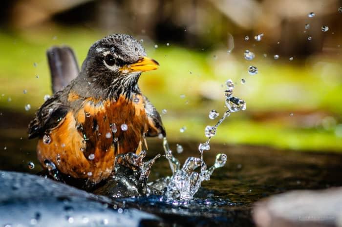Memandikan Burung Murai Batu