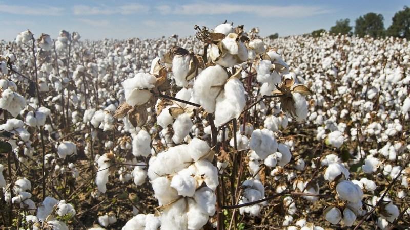 Côte d'Ivoire: le prix du coton graine fixé à 300FCFA/kg, le meilleur prix de la sous-région