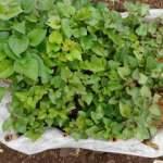 サツマイモ:3回目の植付け
