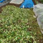 マクワウリ(1):敷き藁を敷く