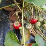 イチゴ:季節外れのイチゴ