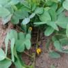 落花生:半立ちの追肥・土寄せ
