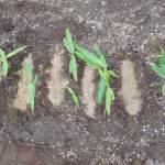 ショウガ:除草・1回目の追肥