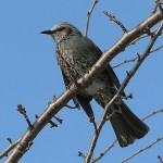 鳥獣対策:ヒヨドリ