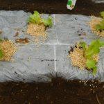 サニーレタス(1):苗の植え付け