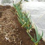 分結ネギ:害虫予防に枯葉除去